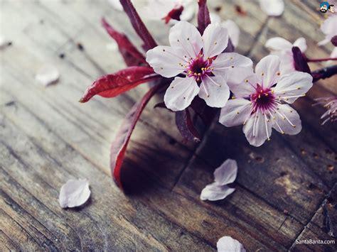 cherry blossom photos themes cherry blossom or desert hyacinth or kingfisher
