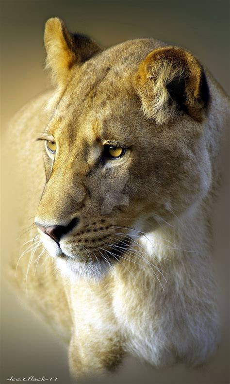 the 25 best lioness ideas www pixshark images galleries with a bite