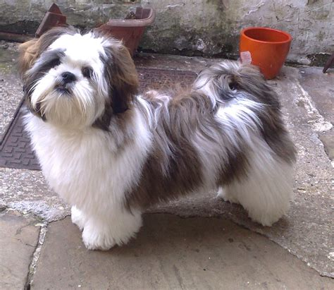 lhasa apso puppies 1000 images about lhasa apso dogs lhasa lovin on