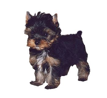potty a yorkie yorkie potty yorkie housebreaking yorkie everyday with yorkies