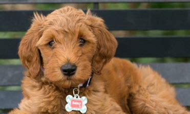 mini goldendoodle puppies michigan goldendoodle puppies in michigan by view doodles mini goldendoodles