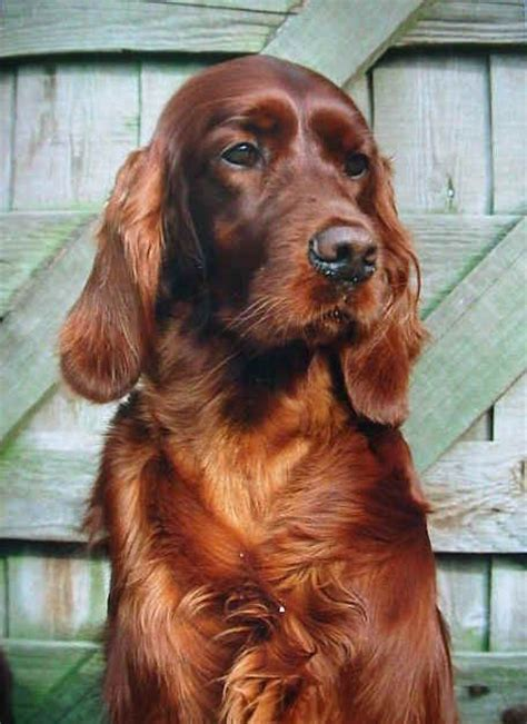 red setter dog pictures 17 best images about irish setter on pinterest english