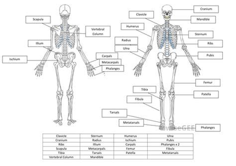 Skeletal System Worksheet by Skeletal System Worksheet And Answers By Hayleyanne20