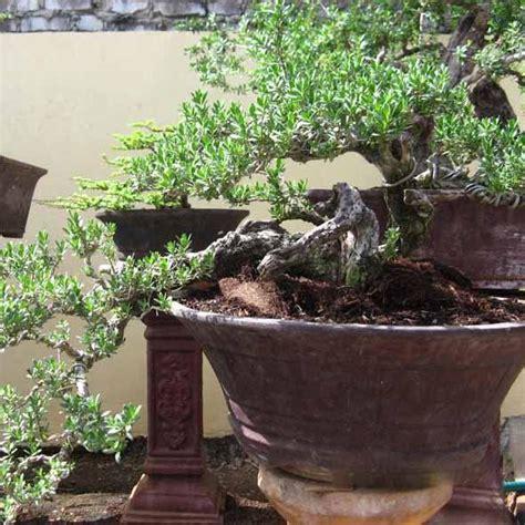 Bakalan Bonsai Cemara Udang fungsi dari pot bonsai tanamanbonsai