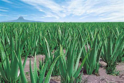 Aloevera The Herb by How To Grow Aloe Vera The Garden Of Eaden