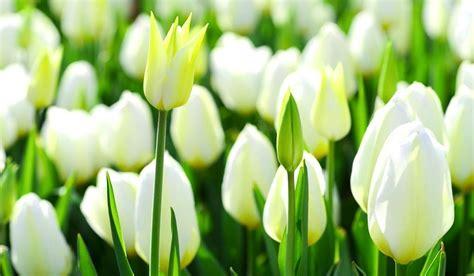 wallpaper daun bunga inilah 12 wallpaper bunga tulip putih yang menakjubkan