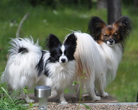 free puppies ta papillon dogs breeds pets