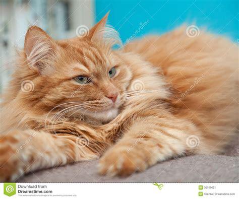 Charming Fluffy Ginger Cat Stock Image   Image: 36109021