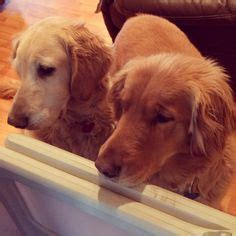 golden retriever shades 1000 images about he said he wanted a on golden retrievers golden