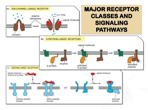 g protein activation steps receptors and signal transduction
