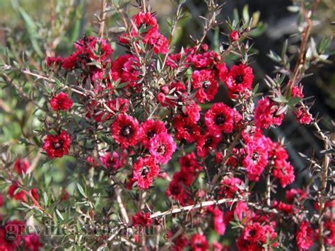 Foliage Of Plants - grevilleas com au leptospermum burgundy queen