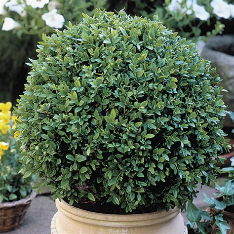 green velvet canada buxus green velvet at wayside gardens
