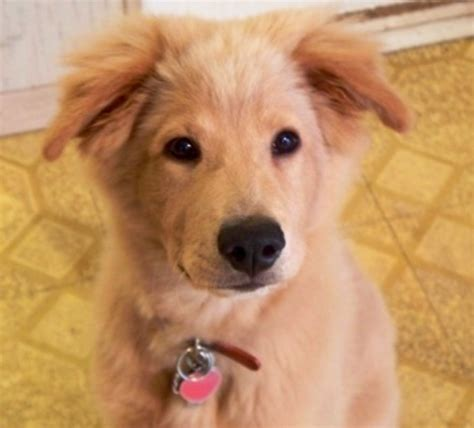 golden retriever rescue dogs for adoption border collie retriever beautiful mutt