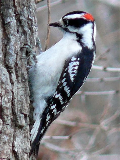 interesting facts about woodpeckers do you know