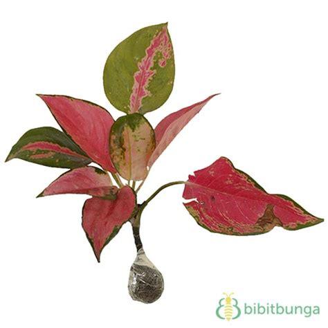 Tanaman Aglaonema Anggun Ayu Cilik tanaman aglaonema kochin bibitbunga