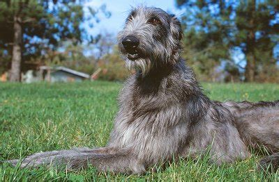 scottish deerhound puppies scottish deerhounds what s about em what s bad about em