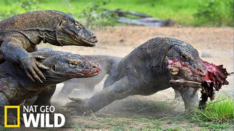 les dracins le dragon komodo part 224 la chasse youtube