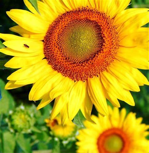 jual benih bunga matahari sunflower  lapak tanabila vasly