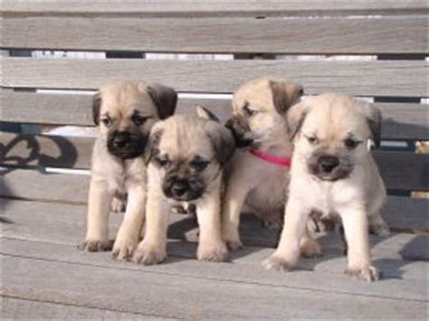 pug breeders in syracuse ny pug puppies for sale