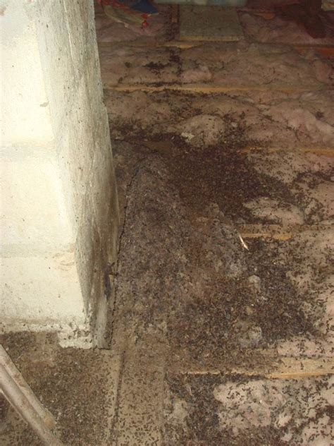 Worst Bed Bug Infestation by Bat Bugs Problems With Bat Bugs In Massachusetts