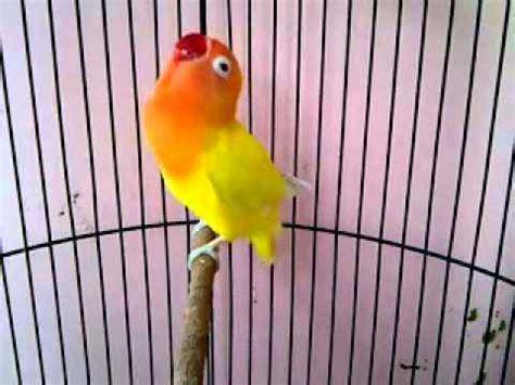 download mp3 lovebird download suara lovebird ngekek panjang mp3 binatang