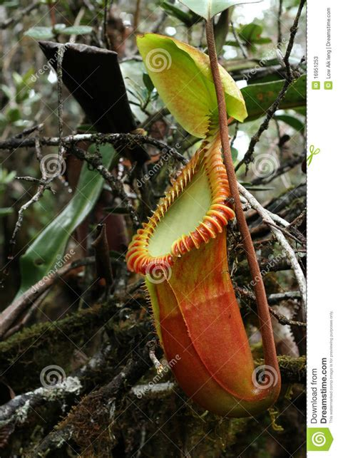 tropical rainforest carnivorous plants pitcher plant stock photos image 16951253