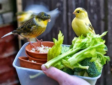 Pakan Lolohan Kenari Yang Bagus cara menjinakan burung dengan pakan burung alami petani