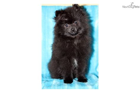 do teacup pomeranians shed a lot how much does a shih tzu puppy cost many breeds picture