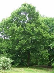 chicago illinois landscaping buy redmond linden trees online