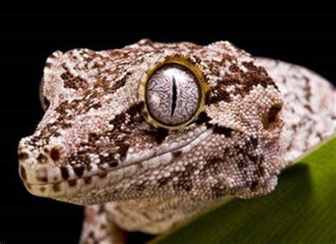 gargoyle gecko care sheet reptile centre