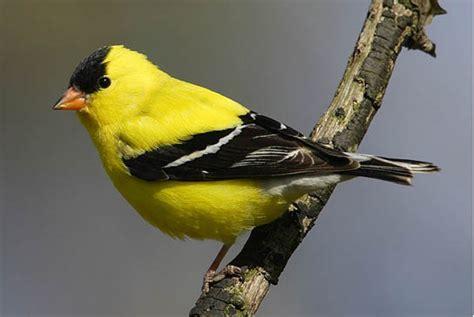 songbirds birds of wisconsin uwsslec libguides at