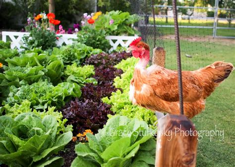 Chicken Garden by A Birdhouse With Purpose Ramblings From A Desert