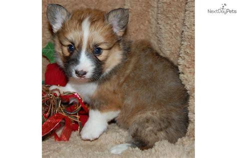 fluffy corgi puppies for sale meet ellie a corgi puppy for sale for 900 exquisite ellie fluffy wind