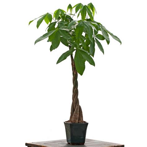 large indoor plants large braided money tree indoor office plants by