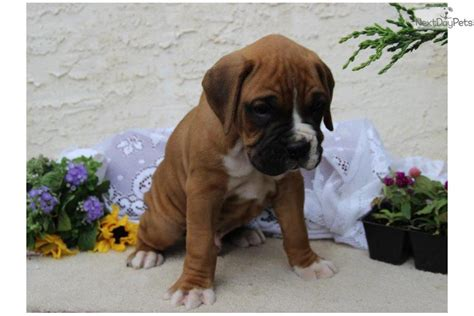 puppies for sale lancaster ca cheap boxer puppies for sale in lancaster pa
