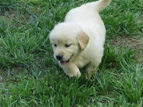 golden retriever puppies wa golden retriever puppies for sale seattle wa 208149