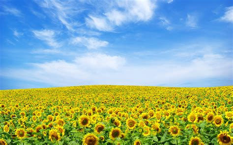 Landscape Pictures Free Free Scenery Wallpaper A Seemingly Endless Sunflower