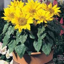 Bunga Matahari Sunflower Maximilian bibit bunga matahari kerdil