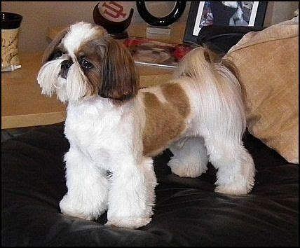 haircuts for shih tzus males 105 best images about shih tzu hair cuts on pinterest