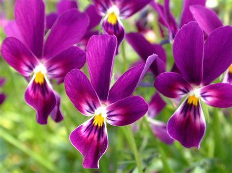 violetta fiore pianta di viola a fiore piccolo la collina dei conigli