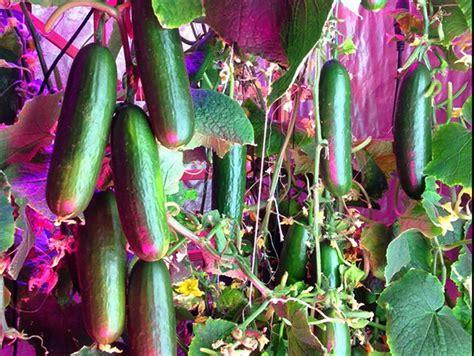 led grow lights for indoor plants bestva x5 1000w led grow light bossled best led grow