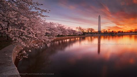 washington dc cherry blossom wallpapers top  washington dc cherry blossom backgrounds