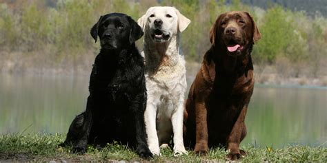 lab colors which labrador colour is best