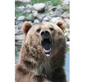 Grizzly Bear Face Outline For Pinterest