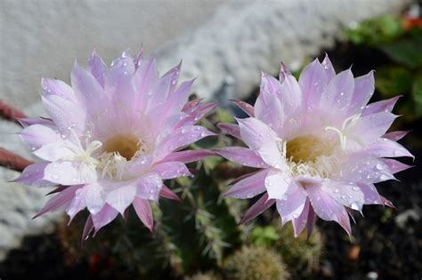 sui fiori rugiada sui fiori di cactus foto immagini piante fiori