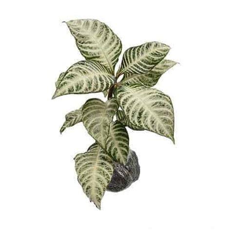 jual tanaman silver leaved aphelandra bibit