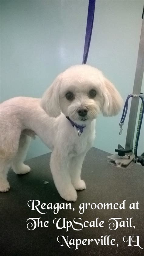 maltipoo reagan groomed at the upscale tail pet