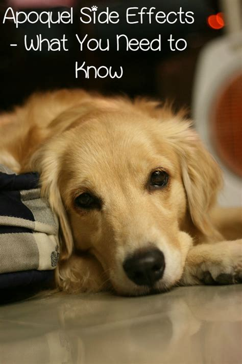 what is apoquel for dogs apoquel side effects in dogs