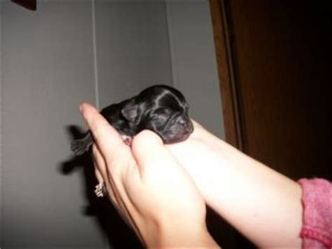 black pugs for sale in pa pug puppies in pennsylvania