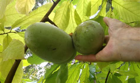 best fruit trees for ohio week forty four 2013 52 weeks of lawn garden